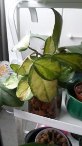 hoya australis lisa Mini_44414620170205112050