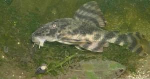 Ménagerie, plus de 3.000L d'aquariums - Page 3 Mini_445359Peckoltia0016