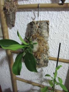 Myrmecodia Becarii et plantes Myrmecophiles Mini_506357IMG2412