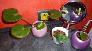 Mes plantes-boutures rescapées de cet hiver... - Page 2 Mini_5086746204