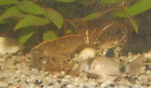 Ménagerie, plus de 3.000L d'aquariums Mini_515085CorydorasPanda0005
