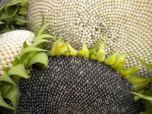 ma récolte de tournesol pour les graines Mini_526434DSCN1572
