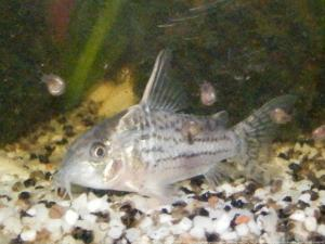 Ménagerie, plus de 3.000L d'aquariums Mini_533618CorydorasSchwartzi0001