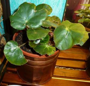 Mes plantes-boutures rescapées de cet hiver... - Page 2 Mini_54075810Berythrophylla