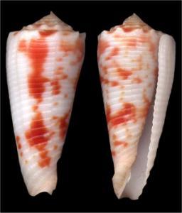 Conus (Phasmoconus) merleti  (Mayissian, 1974) voir Conus (Phasmoconus) moluccensis - Page 3 Mini_552067merleti473