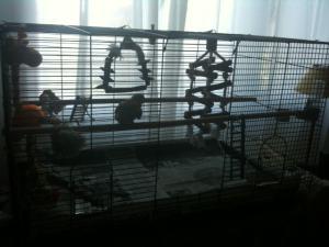 Quelle cage pour Piwi ? Mini_566799photo1