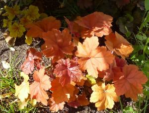 quelques plantouilles au jardin, en ce moment ! Mini_590976HSouthernConfort