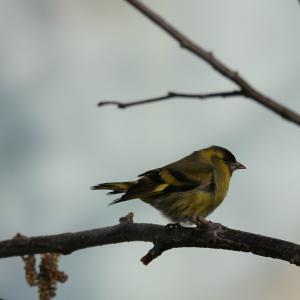 Oiseaux ...  (Staffilou) Mini_591665IMG67200