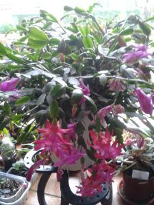 cactus de noel Mini_60198120131221135111