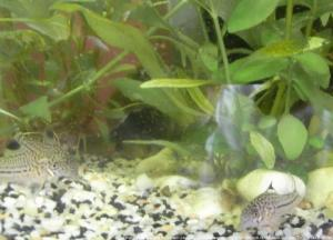 Ménagerie, plus de 3.000L d'aquariums Mini_644490CorydorasTrilineatus0001