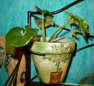 Mes plantes-boutures rescapées de cet hiver... - Page 2 Mini_64866108Berythrophyllabunchii