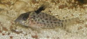Ménagerie, plus de 3.000L d'aquariums Mini_655310CorydorasAgassizii0002