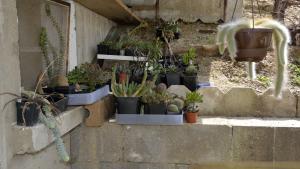 Les piquants et apparentés du jardinet Mini_665498DSC2143