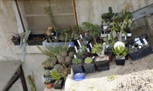 Les piquants et apparentés du jardinet Mini_697990DSC2145