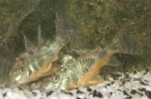 Ménagerie, plus de 3.000L d'aquariums Mini_725328CorydorasPaleatus0004
