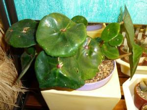 Mes plantes-boutures rescapées de cet hiver... - Page 2 Mini_73525612Bconchifolia