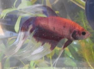 [Tutoriel] aquariophilie et loi française Mini_772882BettaMles0092