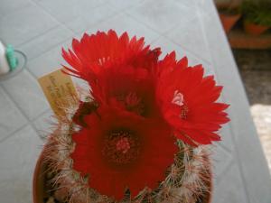 sos-cactus - Portail Mini_82654102Parodiasanguiniflora