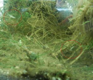 """[Identification] """"Bestiole"""" dans bac à crevettes Mini_829604Sanstitre1"""