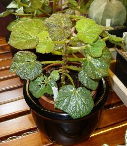 Mes plantes-boutures rescapées de cet hiver... - Page 2 Mini_89504009Bboomer