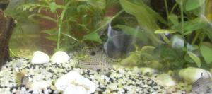 Ménagerie, plus de 3.000L d'aquariums Mini_908290CorydorasTrilineatus0002