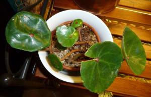 Mes plantes-boutures rescapées de cet hiver... - Page 2 Mini_90900411Bconchifolia