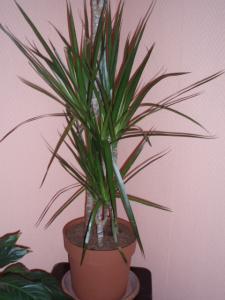 identification palmier(??????) Mini_951555P1150061