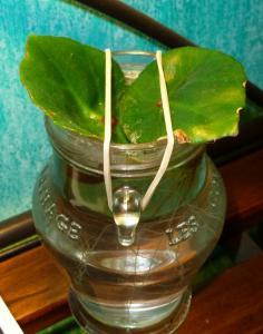 Mes plantes-boutures rescapées de cet hiver... - Page 2 Mini_96215406Bconchifolia