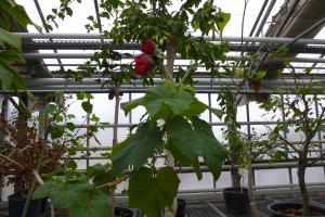 Quelques arbustes tropicaux en fleurs  Mini_997946P1080971