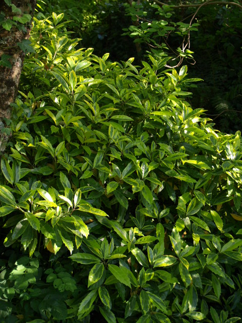 les arbustes persistants 112549aucuba