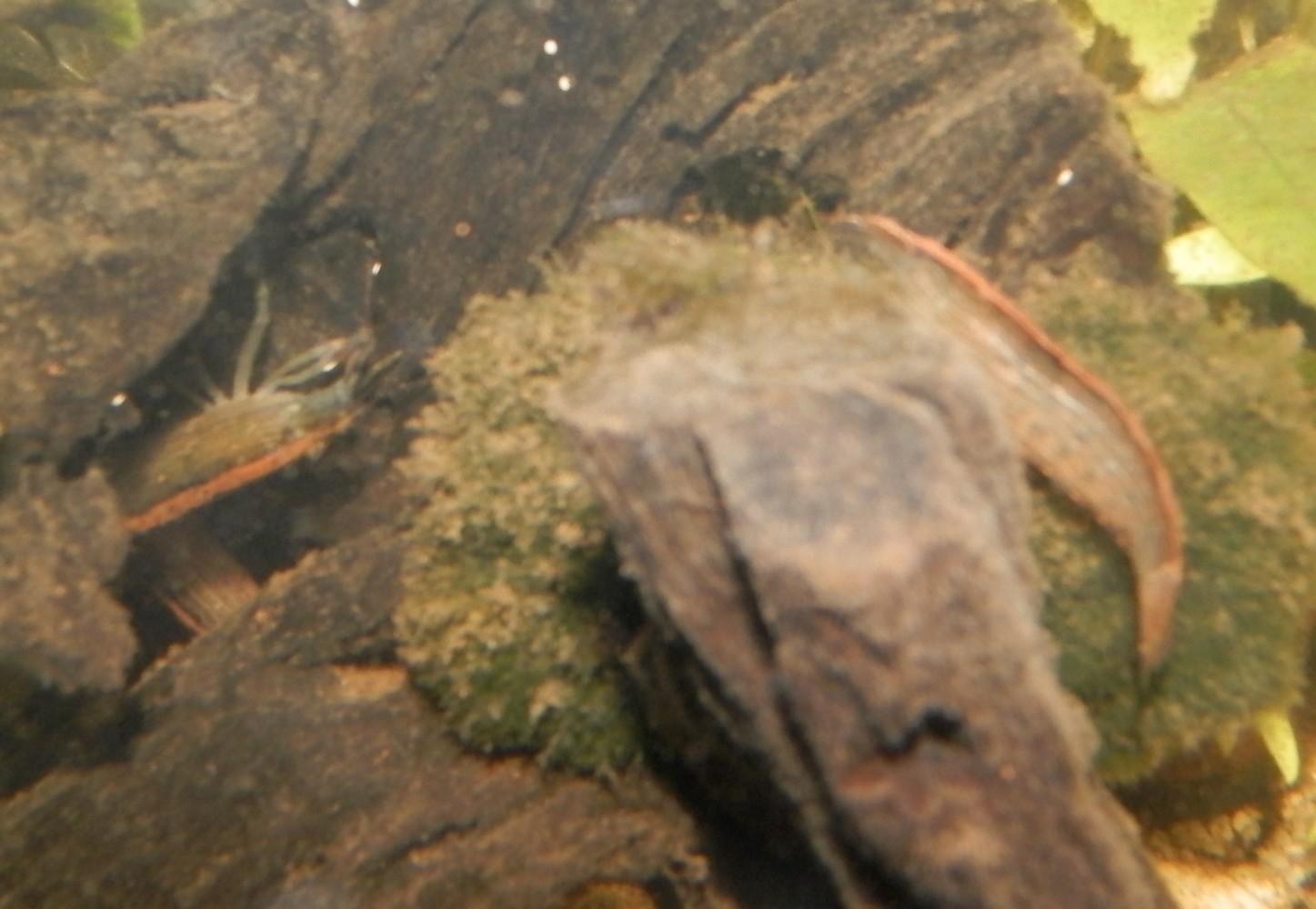 [Présentation] Tous les trous mènent aux crevettes Bambou 1140088313