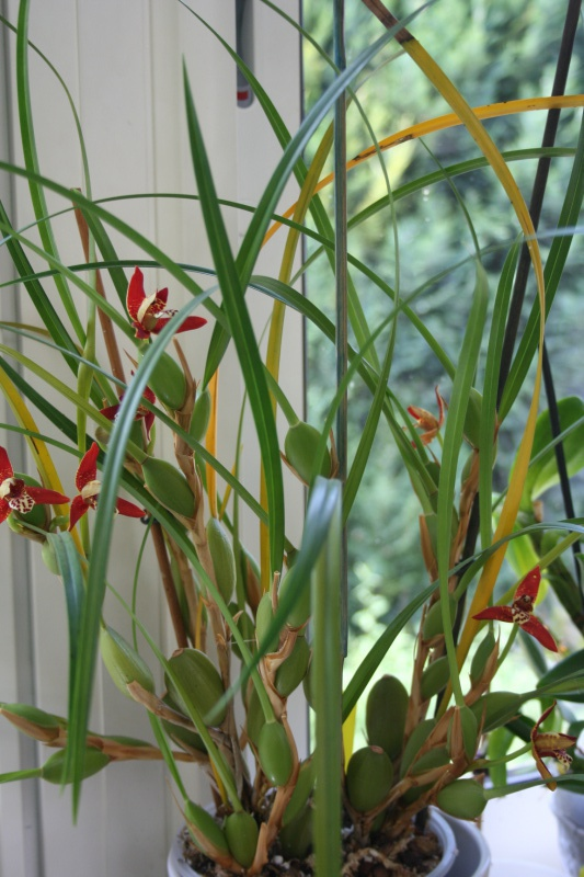maxillaria tenuifolia  - Page 2 114222IMG9266