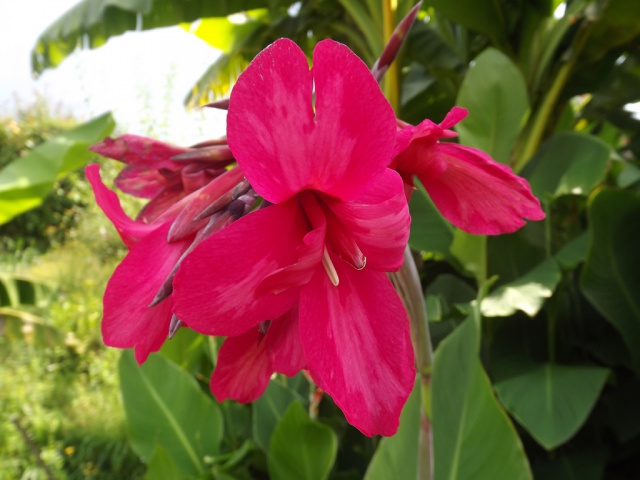 j'ai descendu dans mon jardin - Page 5 116357cannairidiflora1