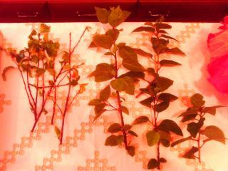 Mes hibiscus et moi...une longue histoire - Page 2 1282017JPG