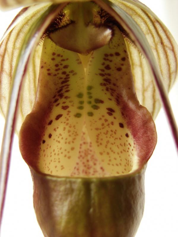 Phragmipedium Grande 'La Tuilerie' (caudatum x longifolium) 130849Flo2014au2014050203