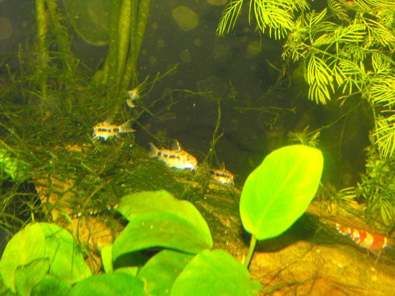 Corydoras habrosus 132820DSCF4531