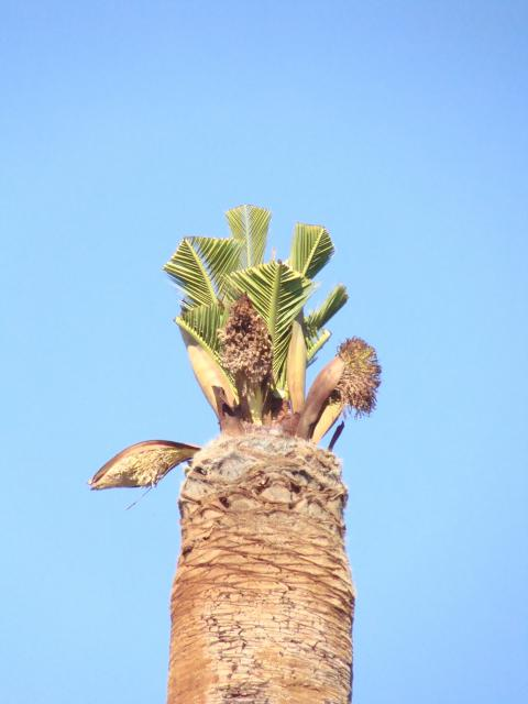 palmier, après le desespoir, un petit espoir.... 136184palmier010