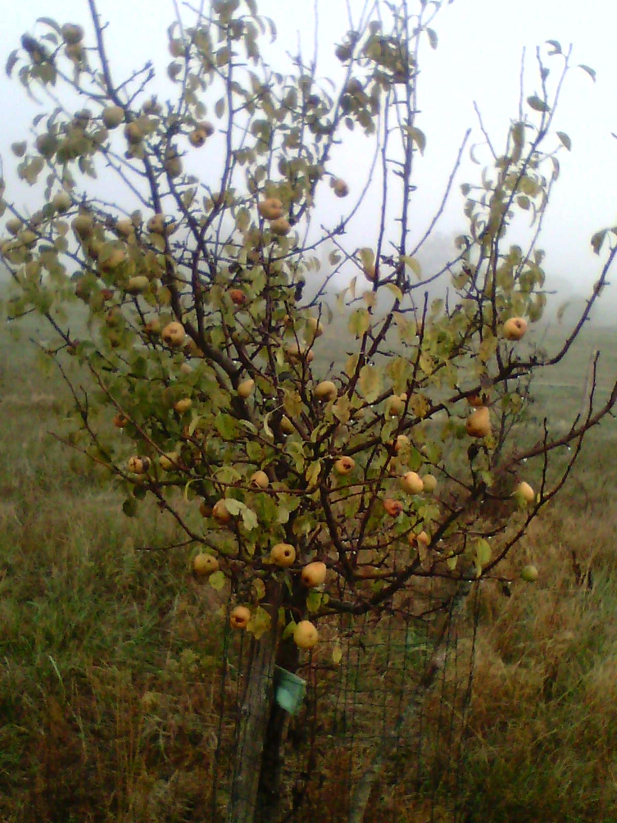 Récolte des pommes et poires 145447IMG1254A