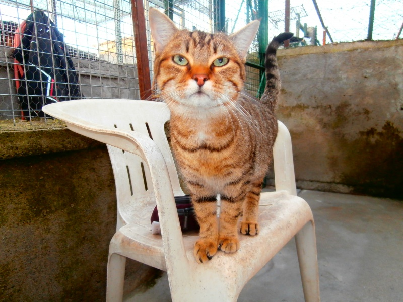 MELBOURNE (chaton tigré marron) 150647P1212253