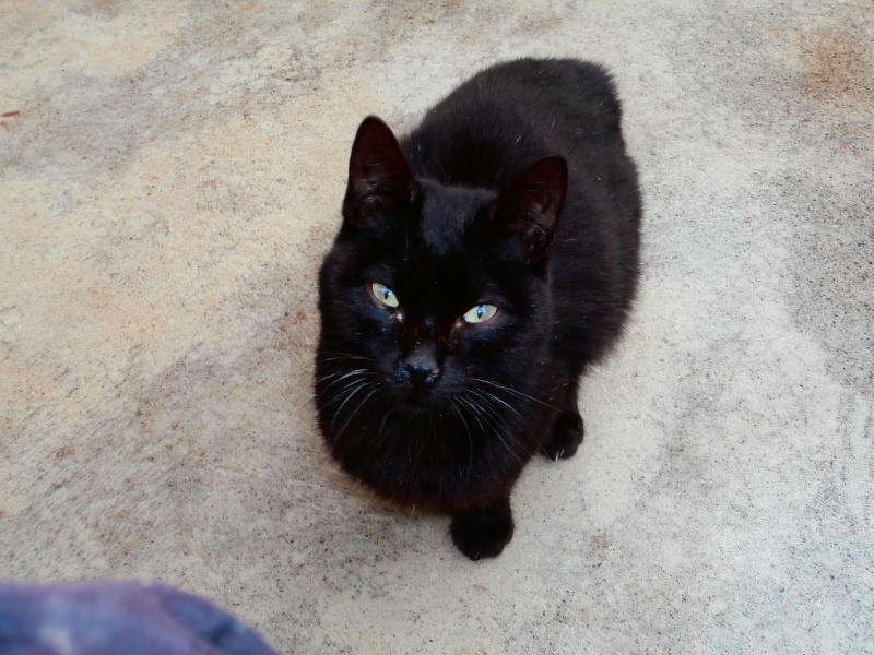 REGLISSE (chaton mâle noir) 151448P1212177