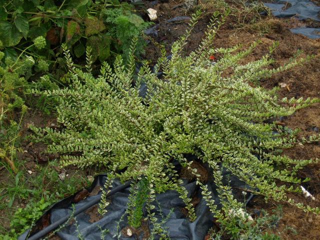 les arbustes persistants 154832P9293199