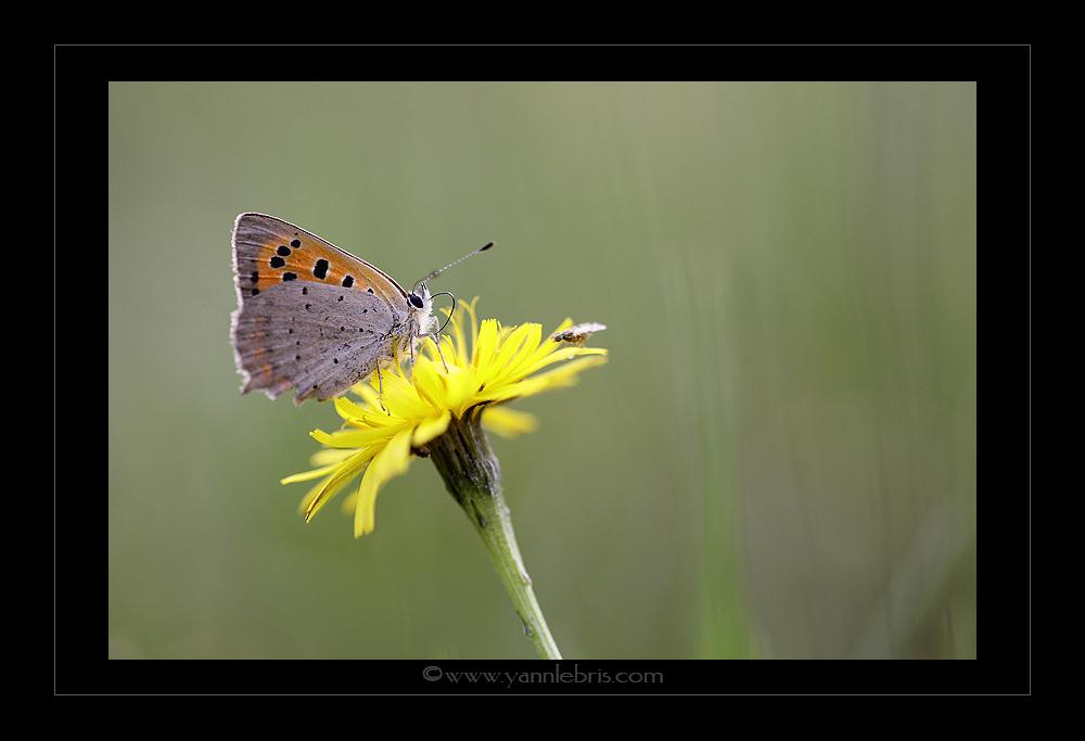 [Lycaena phlaeas & Colias crocea] l'Argus bronzé 155695Pap7