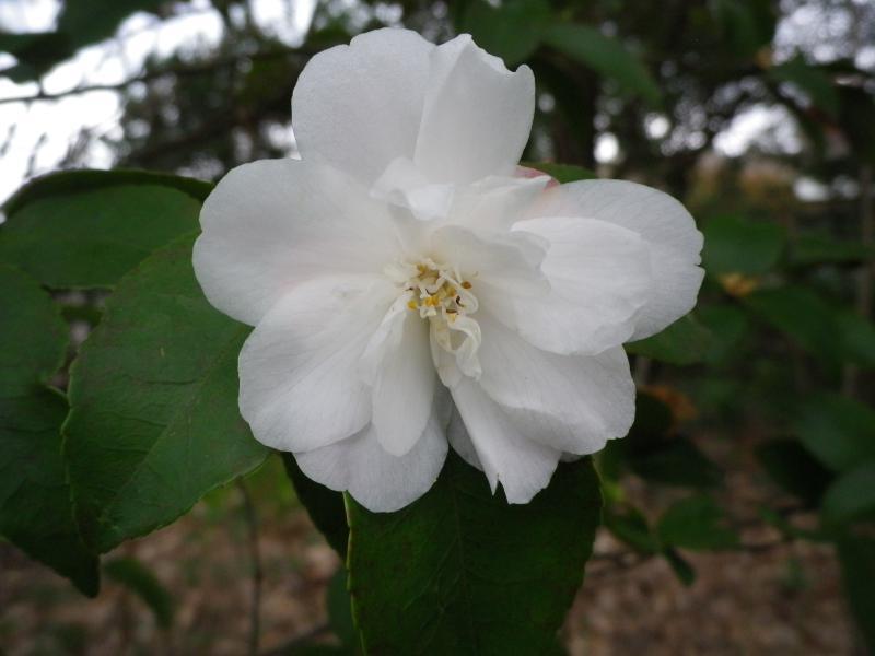 Quelques floraisons 158029CamelliaprsglycineIMGP1244