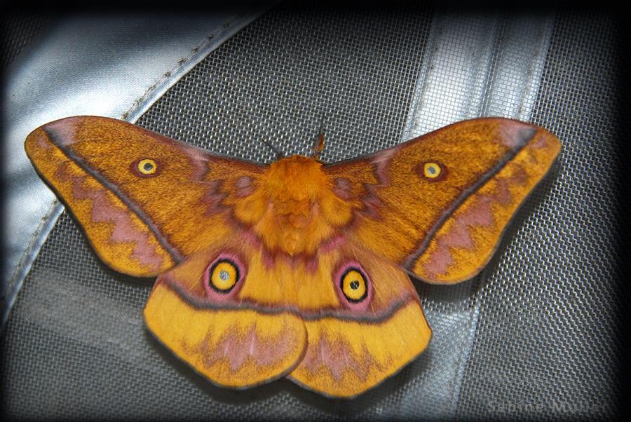 Imbrasia wahlbergi 165749ImbrasiawahlbergiiDSC2169