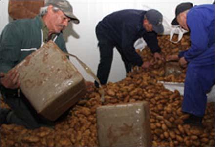 بطاطس أكادير تلد 3 أطنان من المخدرات بميناء طنجة 1708820090216_P_AGADIR