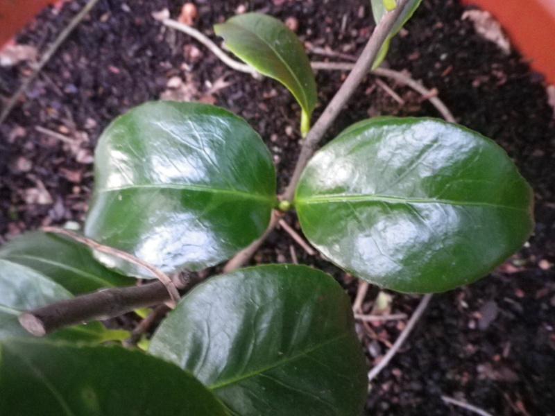 Camellia japonica punctata 'Boutourlin' (?) 184460CamelliaMmeLuxeyidentifierIMGP3817