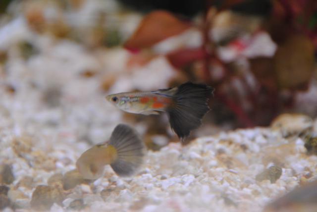 le nouvel aquarium de ma fille  186294DSC4939