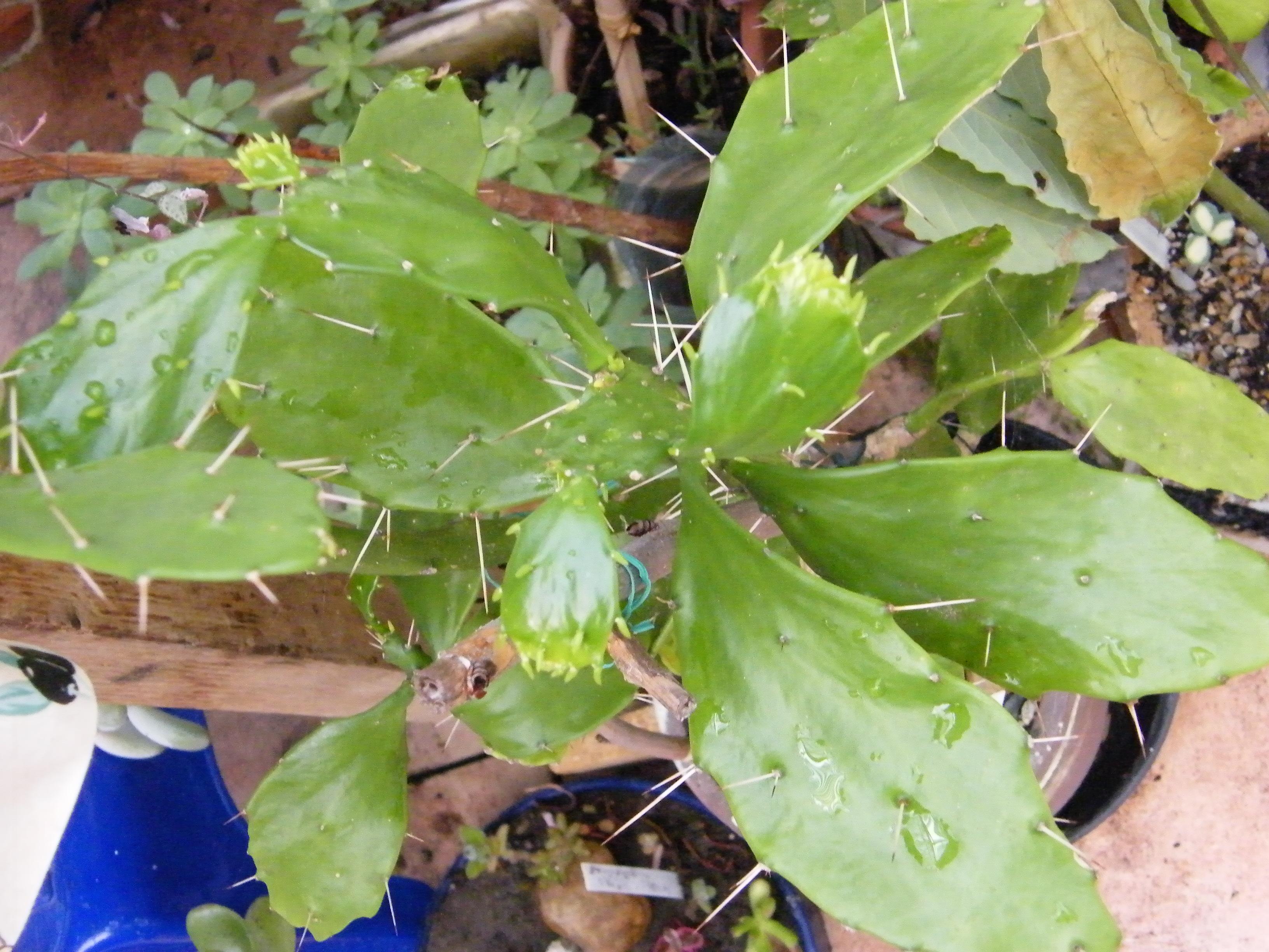 BRASILIENSIS BRASILIOPUNTIA subsp bahiensis 191965Juil2012079
