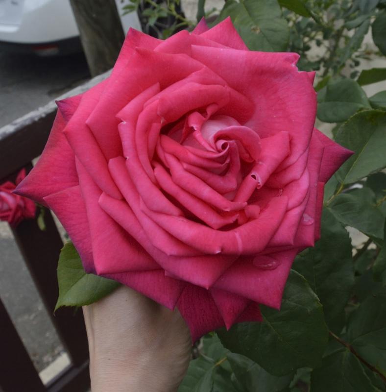 tous ces rosiers que l'on aime - floraisons - Page 2 192527roses2