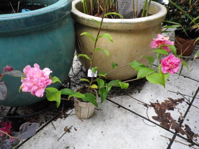 (40) Plantarium et chemin de ronde - Gaujacq 207309CamelliaxhybridarusticanaxlutchuensisFragrantPink260216IMGP3885
